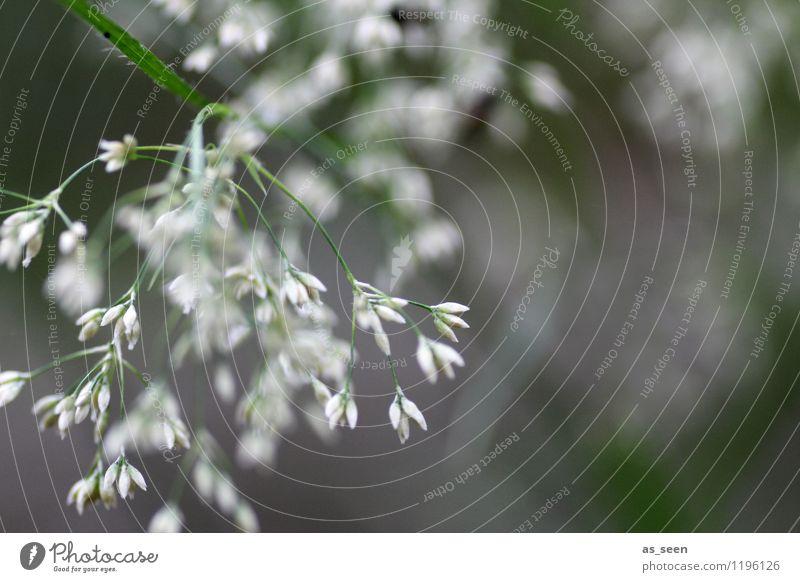 Gräser Natur Ferien & Urlaub & Reisen Pflanze grün Sommer weiß Erholung ruhig Freude Umwelt Frühling Wiese Gras Garten hell Feld