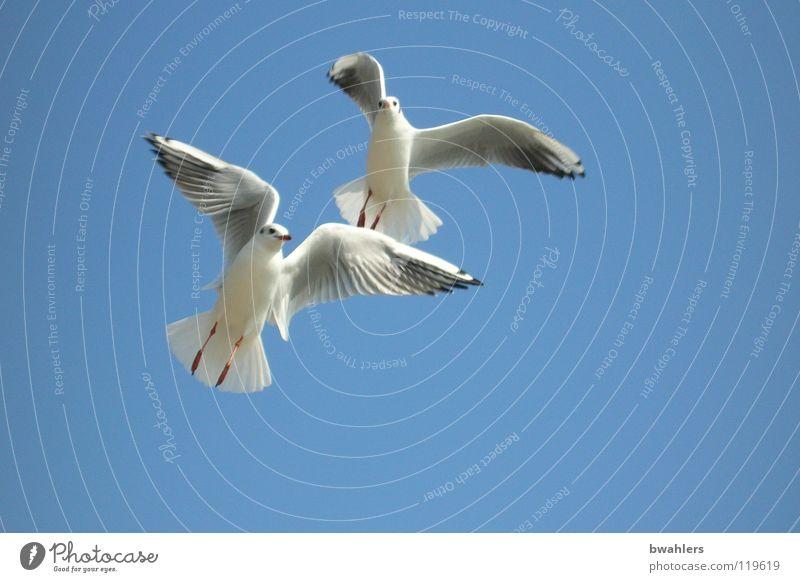 zu zweit Himmel weiß blau Sommer Freiheit See Luft 2 Vogel fliegen Feder Flügel Möwe Bodensee