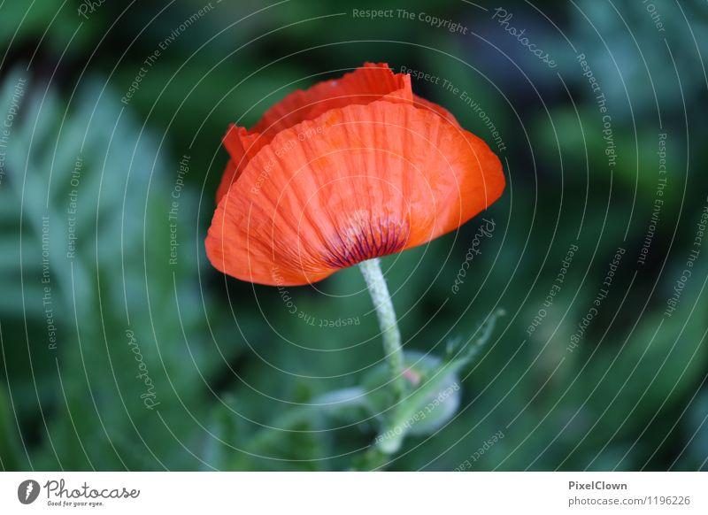 Mohnblume Natur Ferien & Urlaub & Reisen Pflanze schön Blume rot Landschaft Blatt Tier Blüte Stil Garten Lifestyle Kunst Park orange