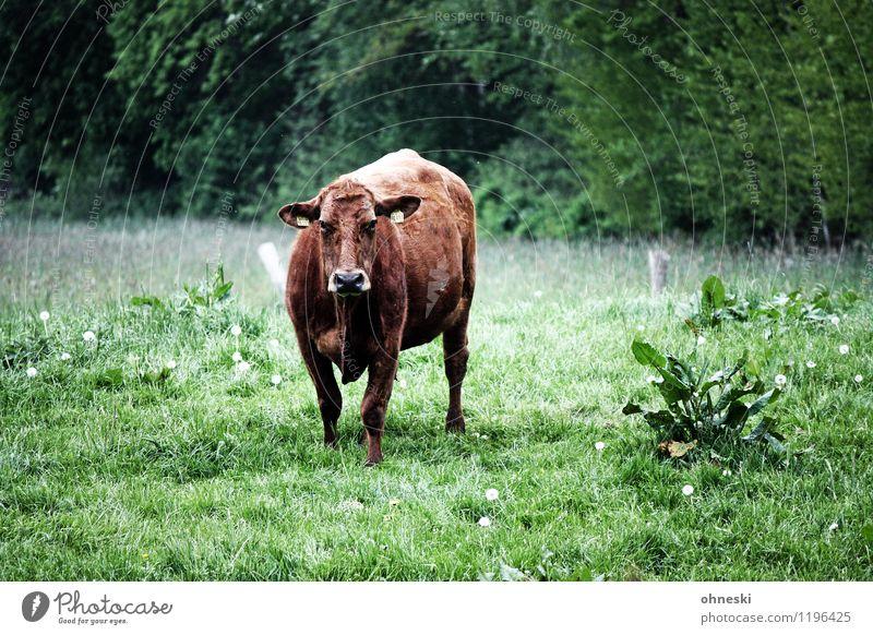 Muh Bioprodukte Slowfood Milch Landwirtschaft Forstwirtschaft Wiese Nutztier Kuh 1 Tier nachhaltig Viehzucht Blick Farbfoto Außenaufnahme Textfreiraum rechts