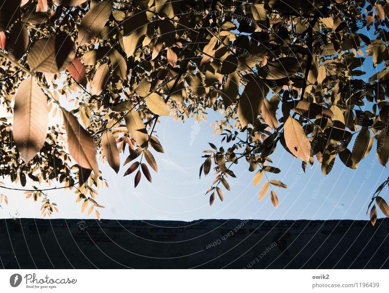 Baldachin Umwelt Natur Wolkenloser Himmel Klima Wetter Schönes Wetter Pflanze Baum Blatt glänzend leuchten Wachstum Idylle geschlossen Laubbaum Farbfoto
