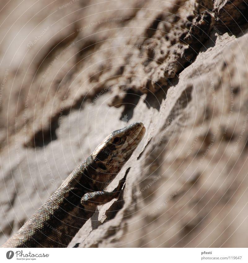enter the gecko! Natur Tier Leben Ernährung Wand grau Bewegung Stein Wärme Mauer Lebensmittel braun gefährlich bedrohlich Physik Klettern