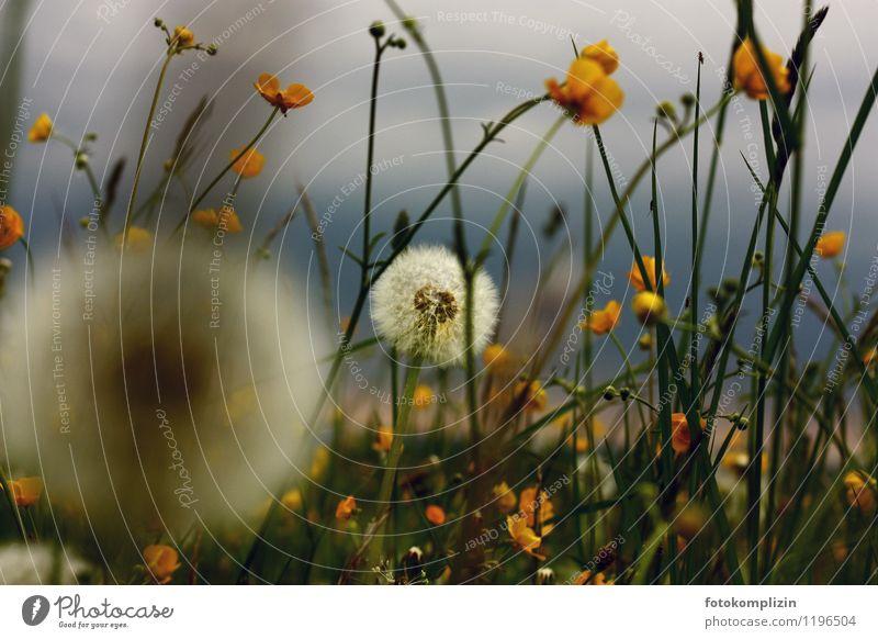 löwenhauch Umwelt Natur Landschaft Pflanze Blume Gras Löwenzahn Sumpf-Dotterblumen Wiesenblume Biotop einzigartig natürlich Leben Erholung Idylle Außenaufnahme