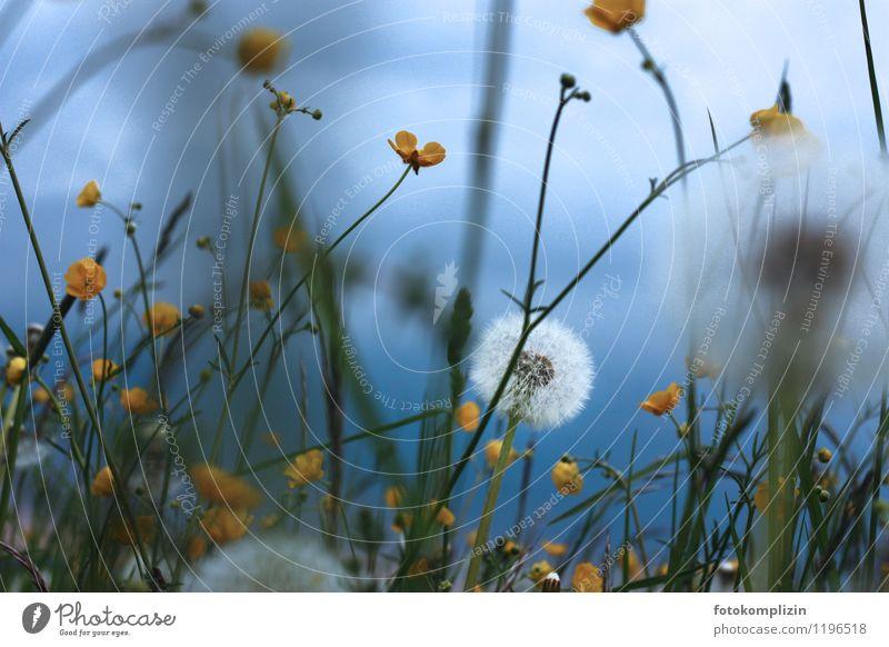 pusteblume in blau Himmel Natur Pflanze weiß gelb Frühling Wiese träumen Zufriedenheit wild Wachstum Kindheit Vergänglichkeit weich Romantik