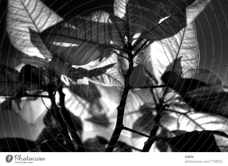 all over now... grün schön Pflanze rot Blatt Lampe HDR Weihnachtsstern Zimmerpflanze Weihnachtsdekoration Wolfsmilchgewächse Hochblätter