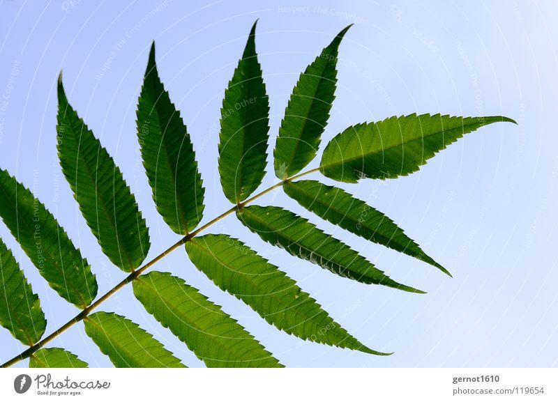 Summertime Blatt Esche grün Baum Sommer Laubbaum Makroaufnahme Nahaufnahme Wedel Blattwedel blau Himmel Schönes Wetter