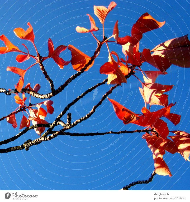 herbstfarben Himmel Baum blau rot Blatt Herbst Schönes Wetter Herbstfärbung