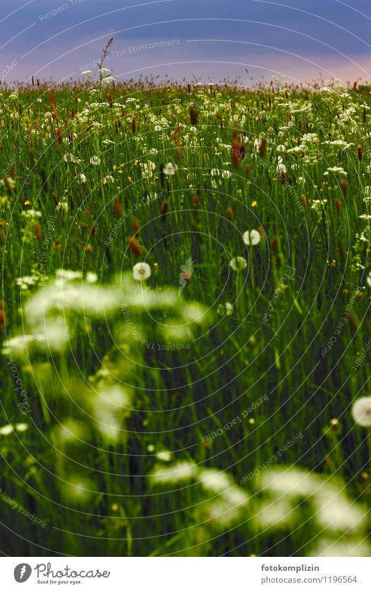 abend_wiese Natur Pflanze Landschaft dunkel Wiese Gras natürlich Löwenzahn Wildpflanze Wiesenblume Biotop Waldwiese Kräuterwiese