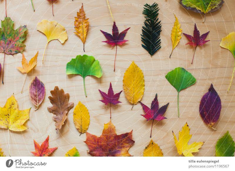 Salat Tier Herbst Baum Blatt Sammlung liegen dehydrieren Natur Vergänglichkeit Ginkgo Eichenblatt Buchenblatt Platane Nadelbaum Spitzahorn Potpourri rot grün