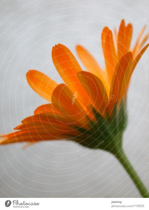 Sommerblume Frühling Blume gelb Blüte Blütenblatt orange Wärme