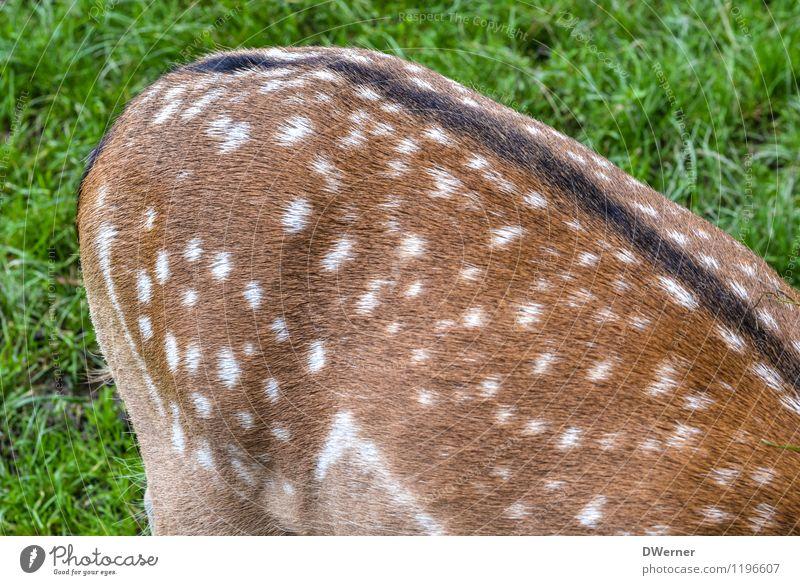Rücken Umwelt Natur Schönes Wetter Gras Wiese Feld Tier Wildtier Fell Zoo Streichelzoo Reh Rothirsch Tierjunges stehen glänzend schön braun grün Punkt Fleck
