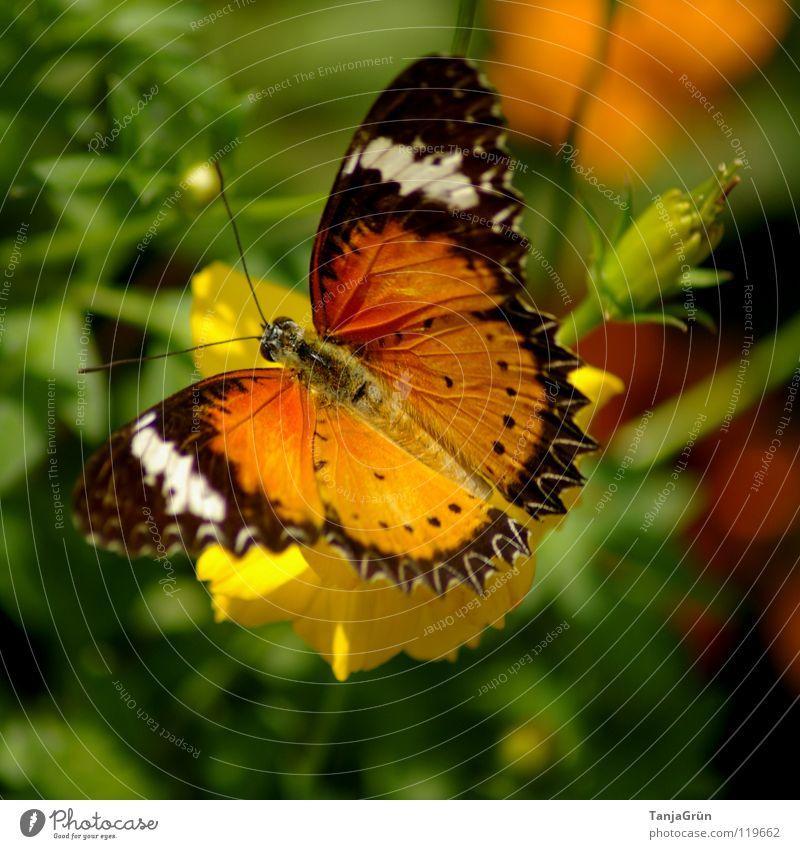 butterfly II Schmetterling Blume Blüte Pflanze Gras Blatt gelb braun weiß schwarz mehrfarbig Sommer Insekt Abheben Pause Physik Thailand gestreift Fühler grün