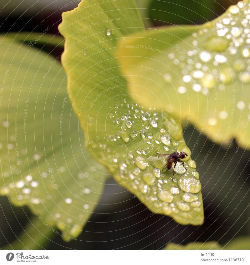 Gingoblatt mit Fliege Pflanze Tier Wasser Wassertropfen Frühling Baum Blatt Grünpflanze Ginkgo Garten Park Wald Wildtier außergewöhnlich frisch glänzend nass