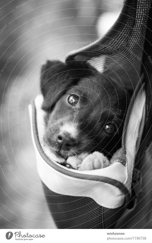 Adorable little Puppy in a Bag Tier Haustier Hund 1 Tierjunges kuschlig niedlich schwarz weiß Sicherheit Schutz Geborgenheit Tierliebe Treue Gelassenheit puppy