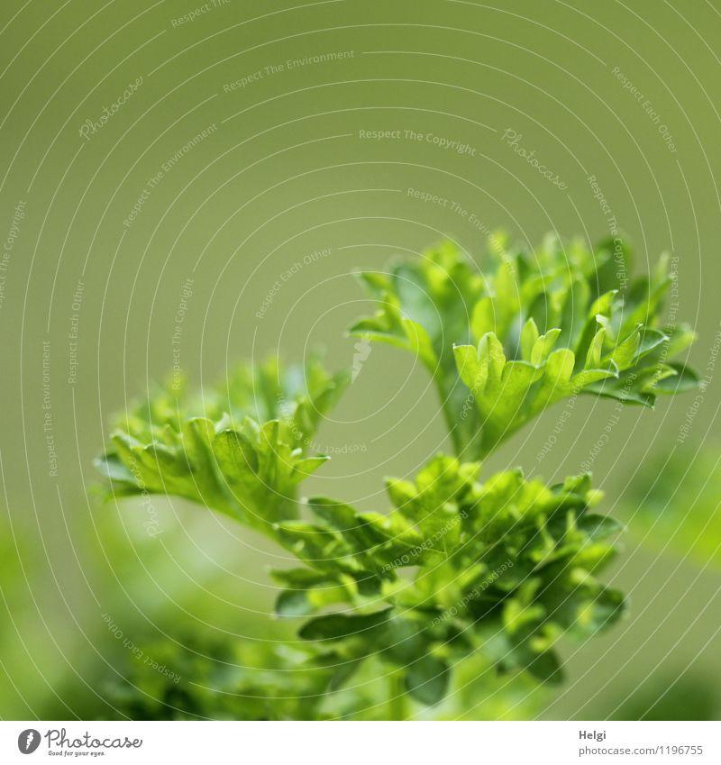 würzig... Lebensmittel Kräuter & Gewürze Petersilie Ernährung Vegetarische Ernährung Pflanze Blatt Grünpflanze Wachstum frisch lecker natürlich grün Gesundheit