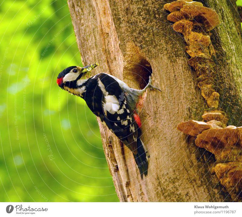Schnauze voll Umwelt Natur Tier Sonnenlicht Frühling Sommer Schönes Wetter Baum Park Wald Wildtier Vogel Wurm Tiergesicht Flügel Krallen Buntspecht Männchen