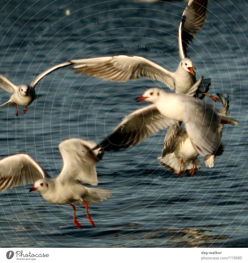 Futterneid Wasser weiß blau rot Tier gelb See Vogel Wellen Aktion Feder Flügel Wut kämpfen Möwe Ärger