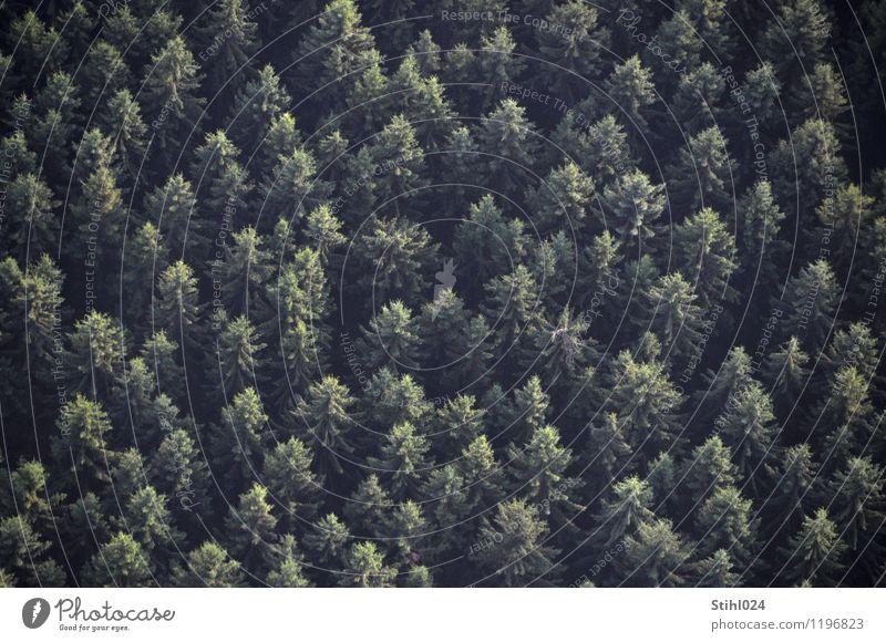 Fichtenwald Natur Pflanze grün Erholung Landschaft ruhig dunkel Wald schwarz Traurigkeit grau fliegen trist beobachten Höhenangst Tanne
