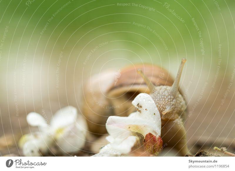 Weinbergschnecke frisst Robinienblüte Natur Pflanze grün Sommer Landschaft Freude Tier Wald Umwelt gelb Frühling Blüte Gefühle Wiese Garten braun