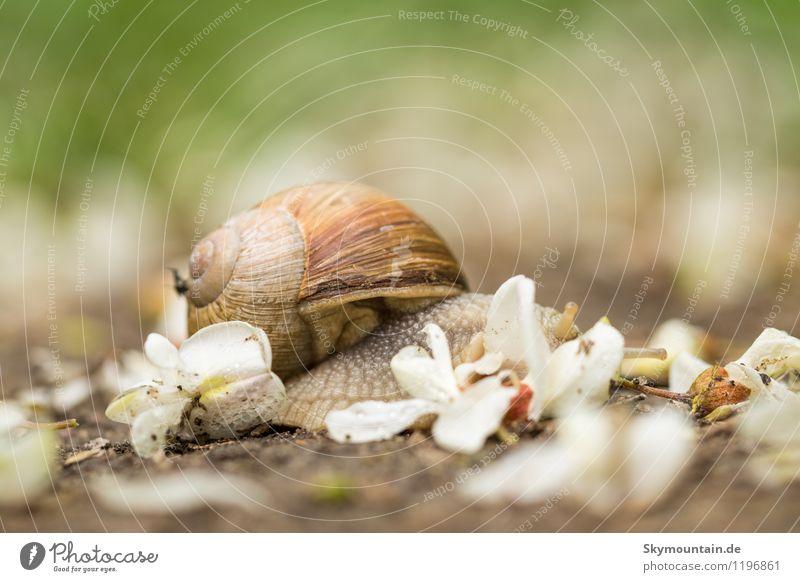 Weinbergschnecke in Robinienblüten 1 Natur Pflanze Sommer Tier Freude Wald Umwelt Blüte Gefühle Frühling Wiese Garten Stimmung Park Zufriedenheit Feld