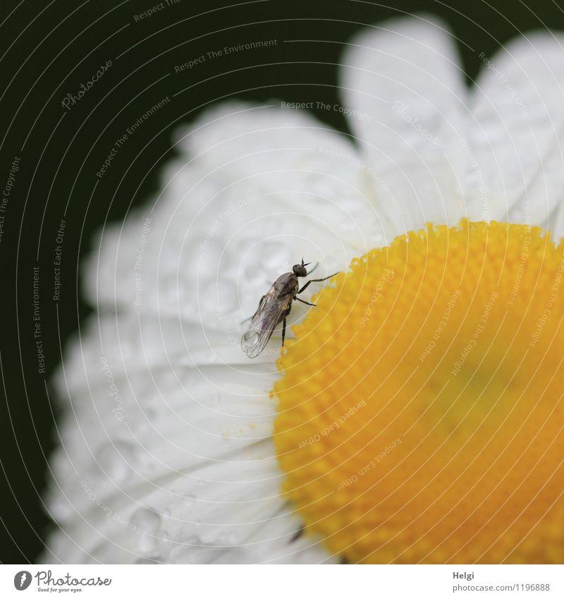 nass geworden... Umwelt Natur Pflanze Tier Wassertropfen Frühling Regen Blume Blüte Margerite Garten Fliege 1 Blühend stehen außergewöhnlich einzigartig klein
