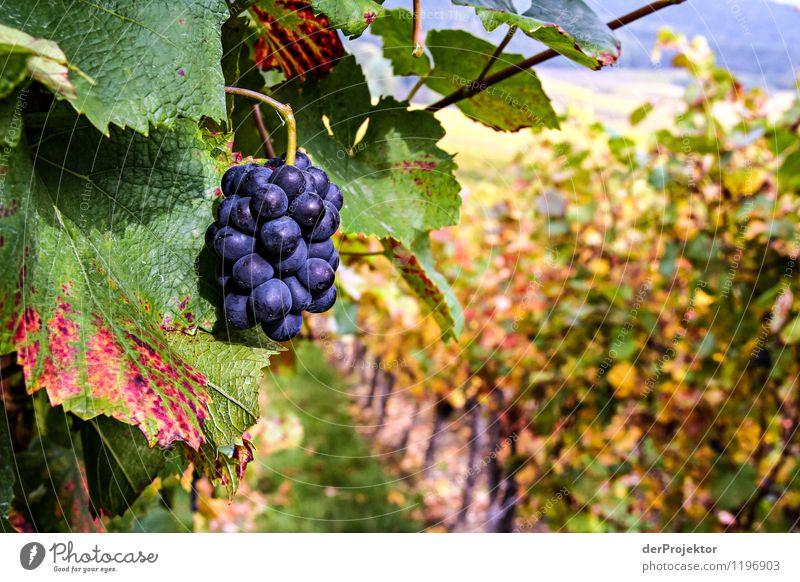Pinot noir in Formvollendung Umwelt Natur Landschaft Pflanze Tier Herbst Schönes Wetter Grünpflanze Nutzpflanze Feld Hügel Gefühle Laster Freude Geborgenheit