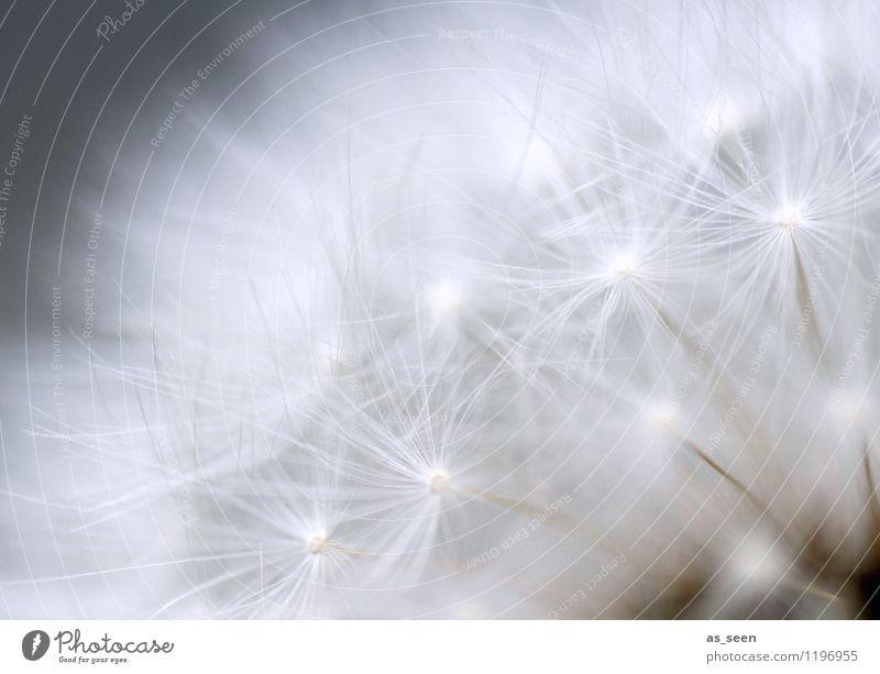 Federleicht Natur Pflanze schön Sommer weiß Erholung Blume ruhig Umwelt Leben Frühling Gefühle natürlich Freiheit fliegen hell