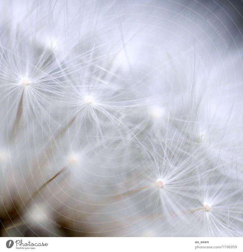 Federleicht Lifestyle schön Gesundheit Wellness Leben harmonisch Sinnesorgane ruhig Meditation Spa Umwelt Natur Pflanze Blume Löwenzahn Samen Fallschirm fliegen