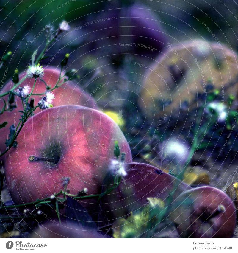 Veräppelt Baum Freude Wiese Gras Garten Frucht Bodenbelag verfaulen fallen Apfel Landwirtschaft Ernte reif Täuschung Rest Umwelt