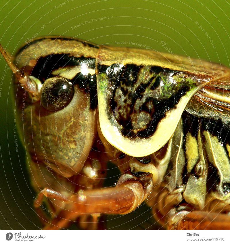 Gewöhnliche Gebirgsschrecke_03 grün Sommer Tier Auge springen braun Insekt Lebewesen Fühler Heuschrecke normal gepanzert Nordwalde Heimchen