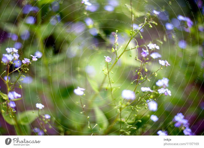 Vergißmeinnicht Frühling Sommer Pflanze Blume Blüte Blühend klein blau grün violett zartes Grün Frühlingsfarbe Frühlingsblume sommerlich Sommerblumen Farbfoto