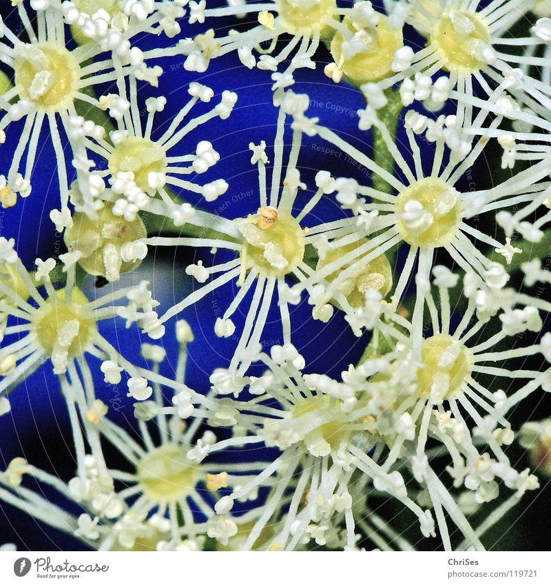 Kletterhortensie (Hydrangea petiolaris) weiß blau Pflanze Sommer Blüte Frühling Garten Park Stern (Symbol) Wachstum Klettern Blühend Biene Stempel kleben Honig