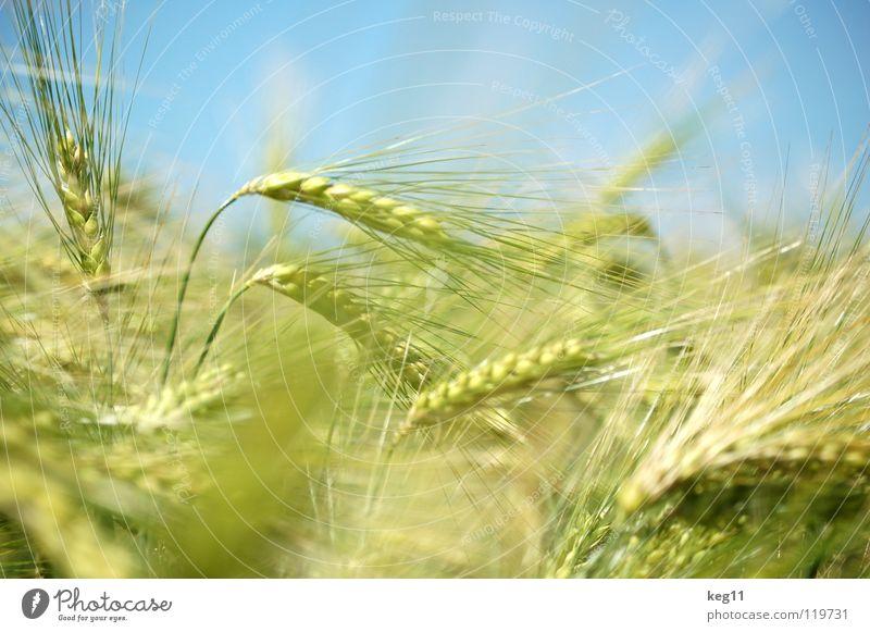 #33 Stürmisches Gerstenfeld Weizen Roggen Blume grün Gras Freizeit & Hobby beige braun nah Sommer Wiese Feld Halm Ähren weiß Mehl Korn ruhig Getreide Pflanze