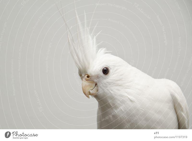 Bobby ll schön weiß Tier lustig Denken außergewöhnlich Vogel elegant Feder sitzen Flügel beobachten Coolness Neugier hören Wachsamkeit