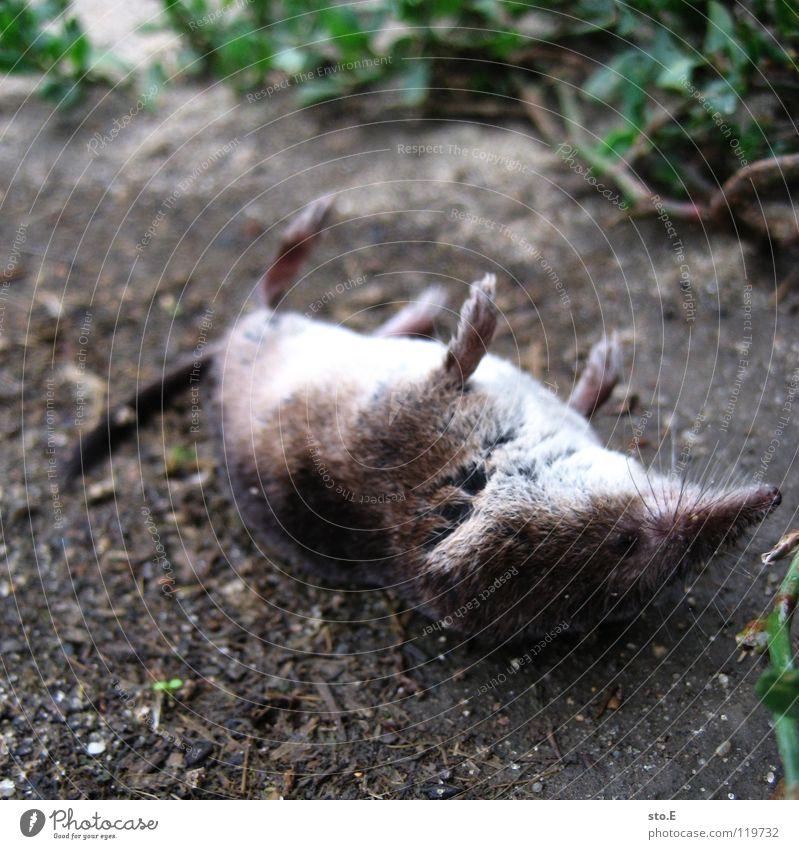 aus die maus Natur Baum Tier Tod Wiese Sand Fuß Erde Rücken liegen Bodenbelag Sträucher Vergänglichkeit Trauer Verkehrswege Maus