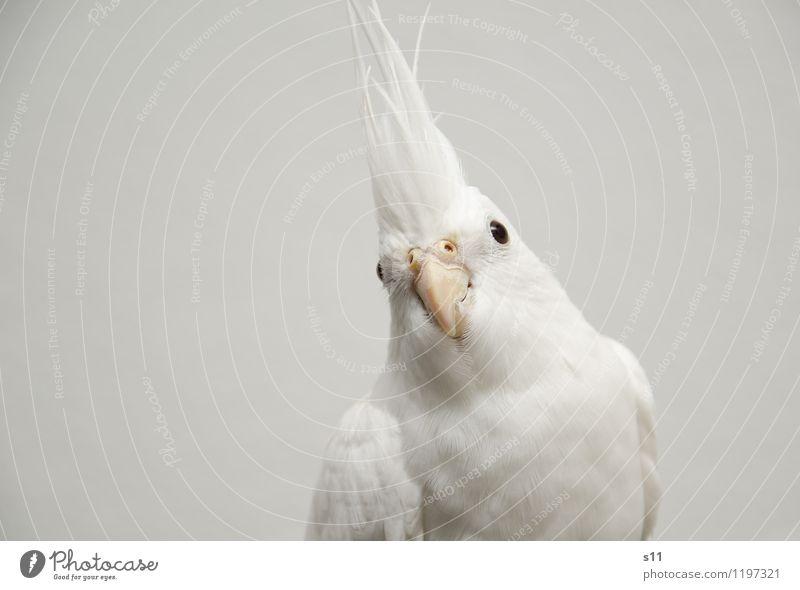Bobby schön weiß Tier Auge Vogel elegant authentisch Feder warten Flügel beobachten niedlich weich Neugier Wachsamkeit Haustier