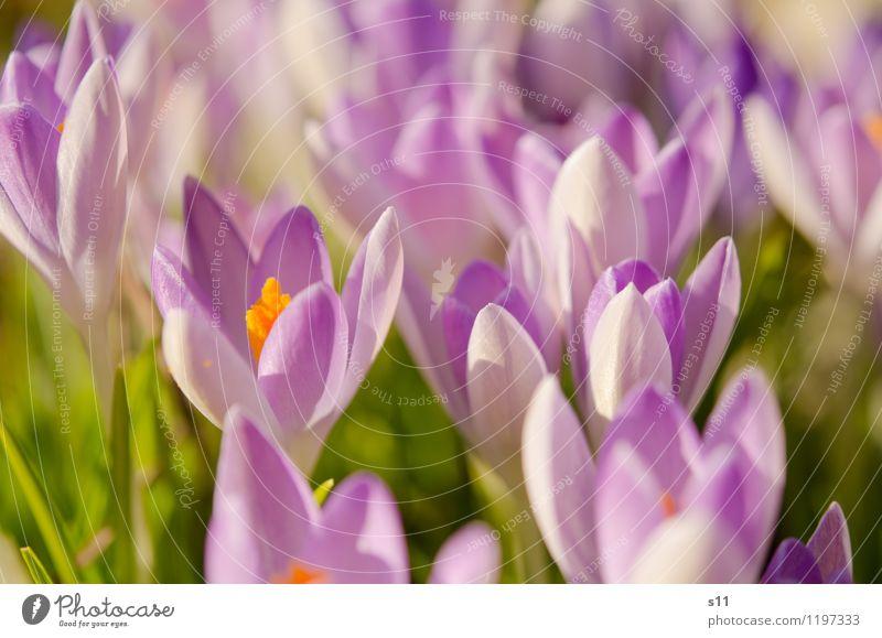 Frühling I Umwelt Natur Pflanze Schönes Wetter Blume Blüte Garten Park Duft Wachstum Freundlichkeit Fröhlichkeit frisch schön grün violett orange Stimmung