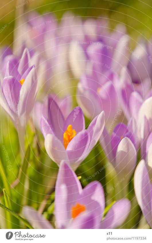 Frühling II Natur Pflanze Sonnenlicht Schönes Wetter Blume Blüte Krokusse Garten Park Blühend Duft Wachstum elegant exotisch natürlich schön grün violett orange