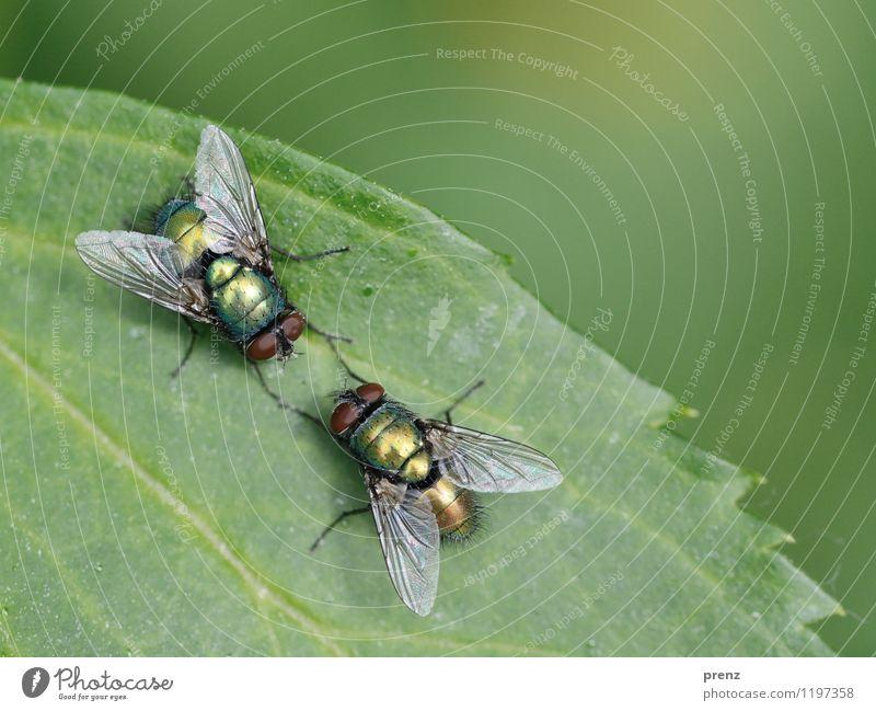 Fliegenklatsch und Tratsch Umwelt Natur Tier Frühling Sommer Schönes Wetter Wildtier 2 grün Insekt sitzen Kommunizieren Farbfoto Außenaufnahme Nahaufnahme