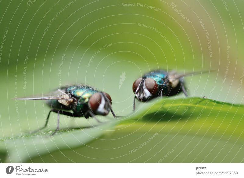 Auf Augenhöhe Umwelt Natur Tier Frühling Sommer Schönes Wetter Blatt Wildtier Fliege 2 grün sitzen Insekt Farbfoto Außenaufnahme Nahaufnahme Makroaufnahme