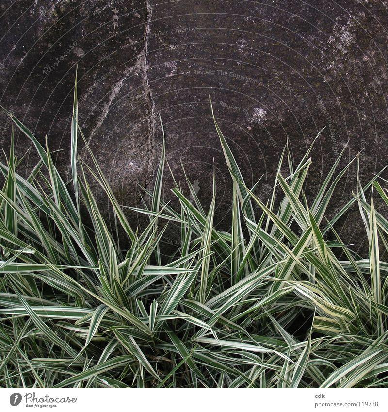 tristesse Gras Ziergras Park grün Pflanze grau dunkel Trauer Einsamkeit vergangen Langeweile November Winter Jahreszeiten Wachstum gedeihen Garten wildwuchs