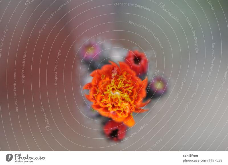 Flammende Mitte Umwelt Natur Pflanze Sommer Blume Sträucher Blatt Blüte gelb orange Vogelperspektive Außenaufnahme Nahaufnahme Detailaufnahme Makroaufnahme