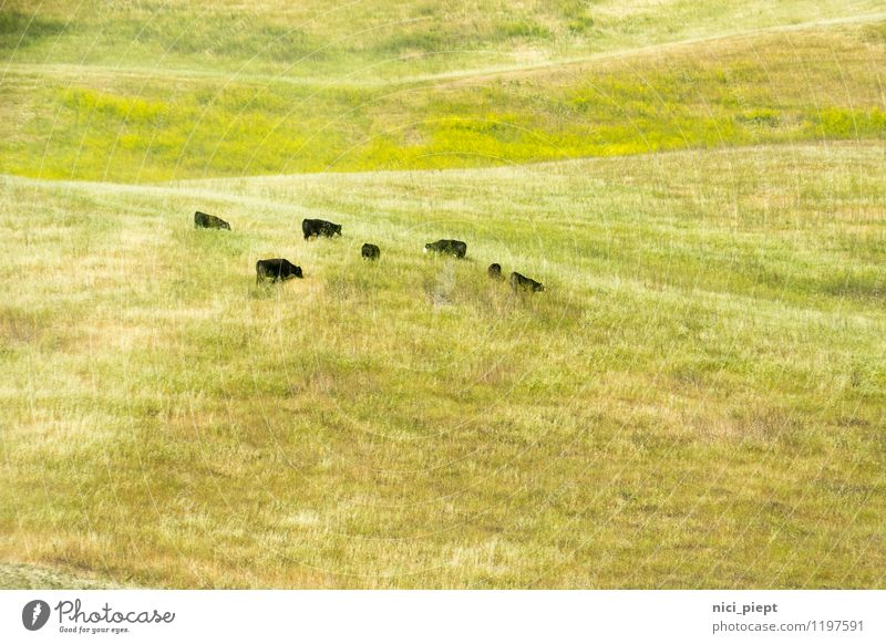 bildschön Natur Landschaft Pflanze Gras Wildpflanze Feld Hügel Nutztier Kuh Rind Tiergruppe Herde entdecken Essen Fressen füttern authentisch frei natürlich