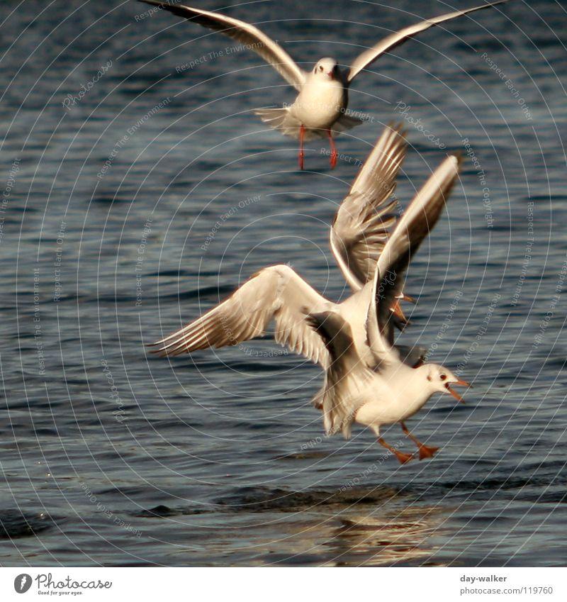 Luftkampf Wasser weiß blau rot Tier gelb See Vogel Wellen Aktion Feder Flügel Wut kämpfen Möwe Ärger