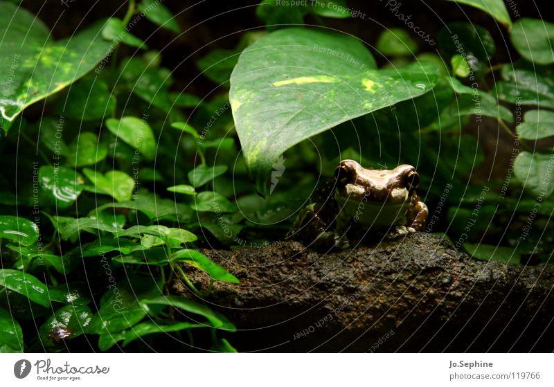 Küss mich! Wasserpfeifer Frosch Tier Tierwelt Wildtier Amphibie Lurch Froschlurche Terrarium Urwald Umwelt Erde Pflanze Blatt Stein grün braun Natur