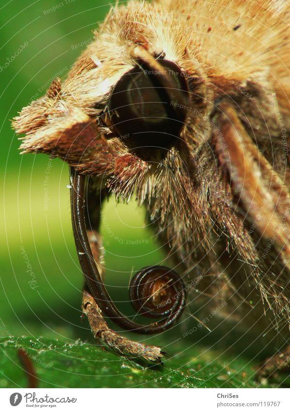 Die gemeine Graseule ist gar nicht gemein...... Sommer rot Tier Auge grau Haare & Frisuren braun orange Angst Insekt Fell Schmetterling Panik Fühler Motte