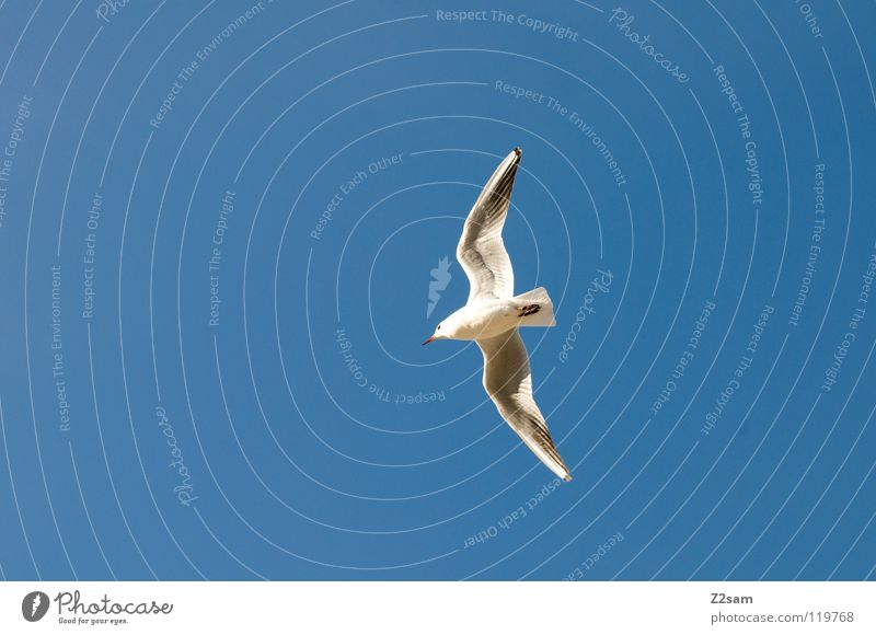 einer von vielen Vogel weiß Feder drehen Tier Spannweite Frieden fliegen Flügel Himmel blau hell Kurve