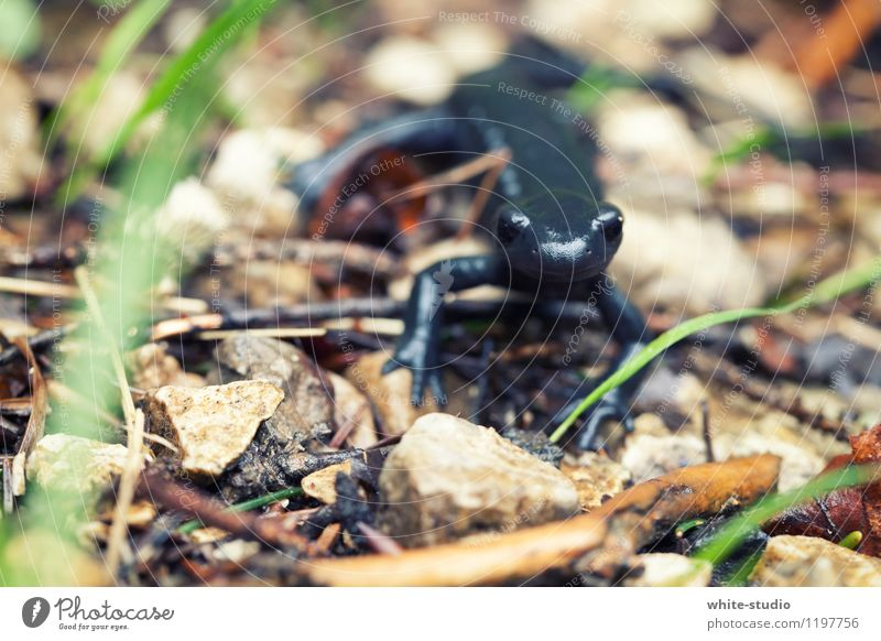 Entdeckungsreise Echte Eidechsen Molch Salamander beobachten entdecken Neugier Interesse schwarz tierisch Tierporträt Nahaufnahme Makroaufnahme Tapferkeit