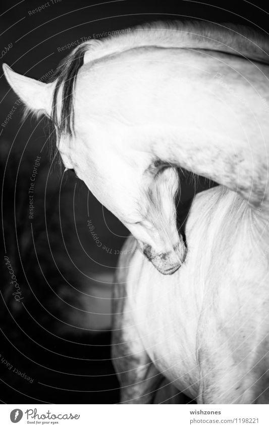Andalusian Horse Reiten Natur Tier Pferd 1 elegant schwarz weiß sanft schön Muskulatur Fell Hals Kopf Ohr Schwarzweißfoto Außenaufnahme Menschenleer Abend