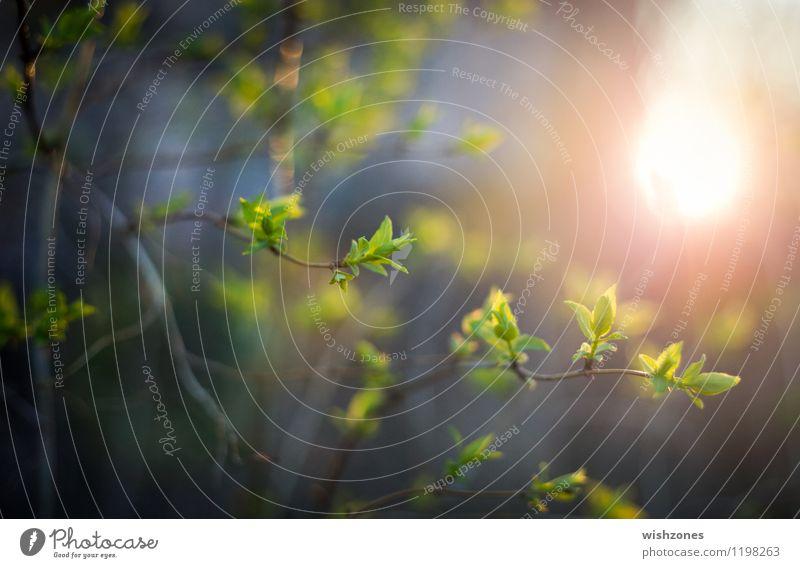 Fresh new born Leaves in the Evening Sun Natur Sonne Sonnenlicht Frühling Pflanze Baum Sträucher Blatt Grünpflanze springen frisch neu Sauberkeit gelb grün